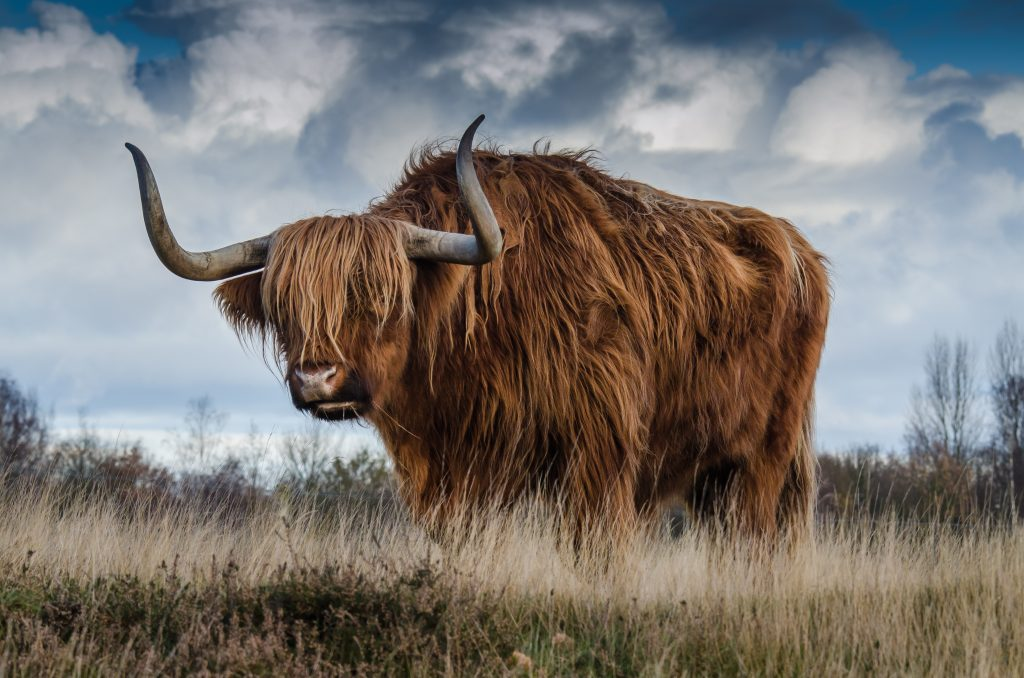 picture of yak you must shave before you learn to code
